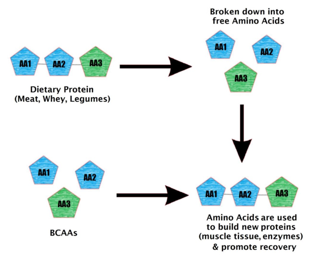 Amino Acids & BCAA   What You Need To Know